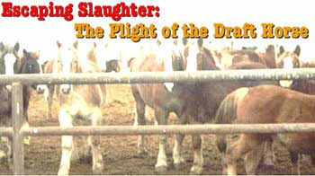 draft horse rescue