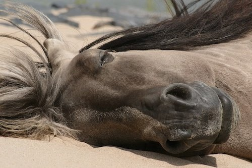 Horses can sleep lying down or standing up.