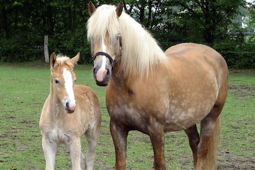 first cloned horse was a Haflinger mare in Italy in 2003