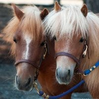 SAFE rescue has two mini-horses as mascots.