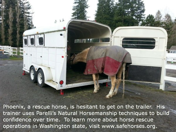 Phoenix, a rescue horse, is hesitant to get onto the trailer.  To learn more about rescue horses in Washington state, visit www.safehorses.org.